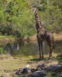 Giraffe3.31.10.NT 4805.jpg