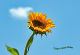Sunflower  nt1170.jpg