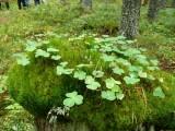 Stubbe i skogen