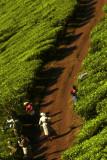 Tea pickers.jpg