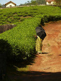 Walk in the tea fields.jpg