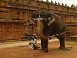 Temple elephant Thanjavur.jpg