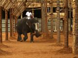 Temple elephant Trichy.jpg