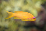Lyretail Anthias (female)