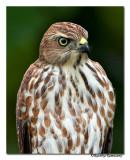 Shikra (Accipiter badius)-3586.