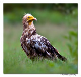 Egyptian vulture( Neophron percnopterus)-3502