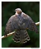 Shikra( Accipiter badius)-5479