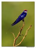 Wire-tailed Swallow (Hirundo smithii)-5613