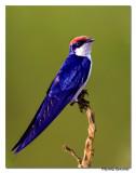 Wire-tailed Swallow (Hirundo smithii)-5616