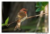 Common Rosefinch(Carpodacus erythrinus)-3585