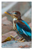 White-throated Kingfisher (Halcyon smyrnensis)-Juv-4924