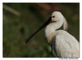 Eurasian Spoonbill(Platalea leucorodia)_DD36648