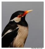 Asian Pied Starling (Sturnus contra) _DD38706
