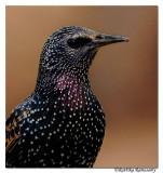 Common Starling(Sturnus vulgaris)_DD38724