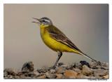 Yellow-Wagtail(Motacilla flava)_DD39041