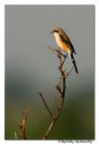 Long-tailed Shrike(Lanius schach)_6489