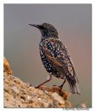 Common-Starling(Sturnus vulgaris)_DD38683