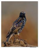Common Starling(Sturnus vulgaris)_DD38745