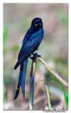 Black Drongo Dicrurus macrocercus_BID6534