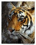 Tiger Portrait_D2X0950