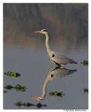 Grey Heron (Ardea cinerea)_DD35215
