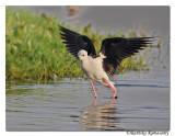 Black-winged Stilt(Himantopus himantopus) _DD36395