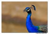 Indian Peafowl(Pavo cristatus)_DD38424