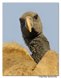 Long-billed Vulture(Gyps indicus) _DD38869