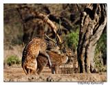 Spotted Deer_DD38962
