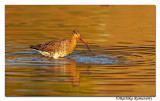Black-tailed Godwit( Limosa limosa) _DD38566