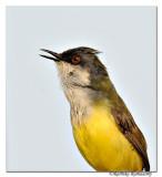 Yellow-bellied Prinia (Prinia flaviventris)_DD30003