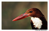 White-throated Kingfisher (Halcyon smyrnensis)_DD30168