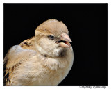 House Sparrow (Passer domesticus)-_DD39926