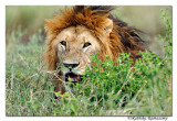 Lions of Africa