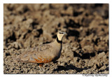 Yellow-throated sandgrouse (Pterocles gutteralis)_DD31057