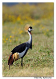 Grey Crowned Crane (Balearica regulorum)_DD32556