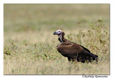 Lappet-faced Vulture(Torgos tracheliotos)_DD30682
