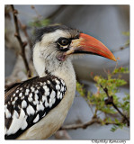 Red-billed Hornbill (Tockus erythrorhynchus)_DD31592