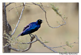 Superb Starling (Lamprotornis superbus)__DD30932