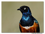 Superb Starling (Lamprotornis superbus)_DD32714