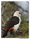 White-headed Buffalo-weaver (Dinemellia dinemelli)_DD31596