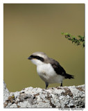 Gray-backed Fiscal (Lanius excubitoroides)_DD31628