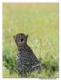 Cheetah _DD32231