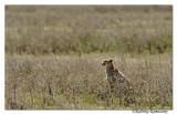 Cheetah _DD32907