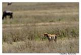 Cheetah _DD33001