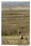 Cheetah _DD33055