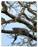 Leopard_DD31488