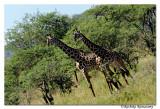 Giraffe Giraffa (camelopardalis)_DD31772