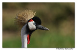 Grey Crowned Crane (Balearica regulorum)_DD32154