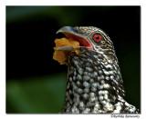 Asian Koel(Female) -8365